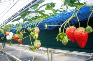 たなかの苺はイチゴ狩りの穴場スポットです。