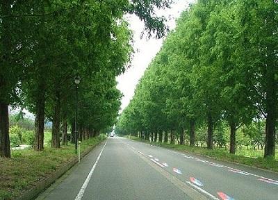 マキノピックランドにつづくメタセコイヤ並木道