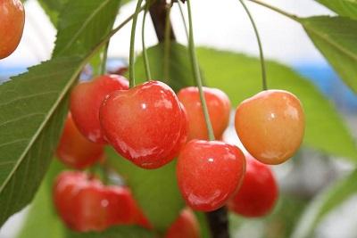 さくらんぼ狩りの食べ放題は関西滋賀県でどうぞ