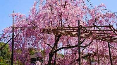 平安神宮桜東神苑は桜のおすすめスポットです。