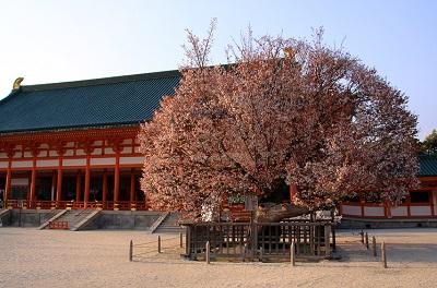平安神宮左近の桜は見る価値ありです。