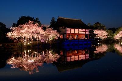 平安神宮の桜ライトアップはとても幻想的です。