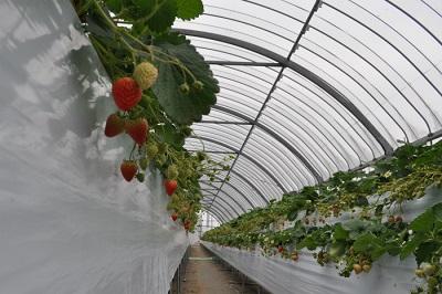 淡路島フルーツ農園高設栽培