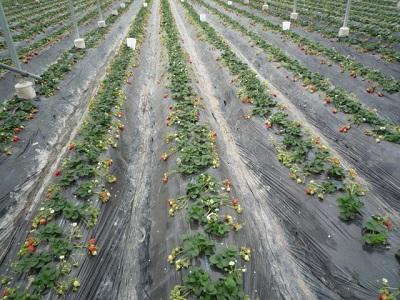 貴志川観光いちご狩り園イチゴ