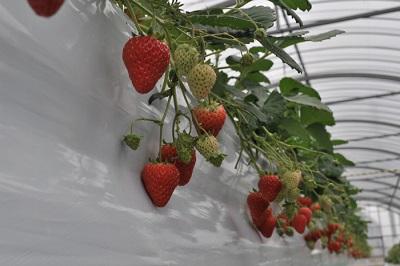 淡路島フルーツ農園イチゴ