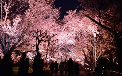 二条城桜ライトアップ