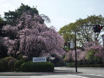 明治神宮外苑桜