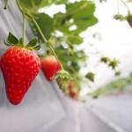 ゆめさき苺ハウスイチゴ