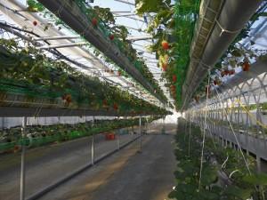 いちごの堺中空構造栽培槽